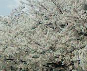 千鳥ケ淵の桜吹雪